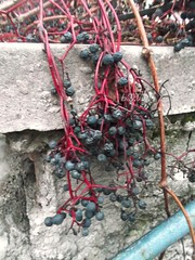 ? / Vad jgbor lesz? (ruta / ) Tags: grapes grapevine autumn urbannature wildgrapes
