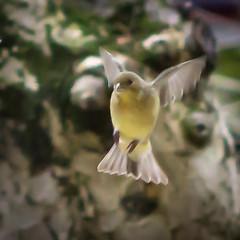 untitled-01668 (nitchwick) Tags: goldfinch zeiss finch bird backyard