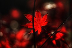 Red Maple Leaf (JPShen) Tags: leaf maple autumn red bokeh