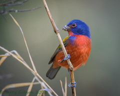 Circle B Bar Reserve male Painted Bunting12-01-2016 (Jerry's Wild Life) Tags: bunting cbbr circlebbar circlebbarreserve florida lakeland malepaintedbunting painted paintedbunting polkcounty songbird songbirds