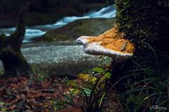 Baumpilz (Ronny Gbler) Tags: wald wasser pilze frost kalt wasserfall langzeitbelichtung bltter herbst moos baum bume baumstamm steine ufer klte