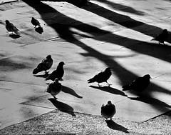 My friends (Sappho et amicae) Tags: pigeons sapphoetamicae fauna