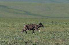 Caribou at the End of the Dalton (Bonnie Ott) Tags: caribou alaska