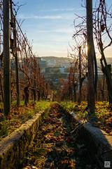 DSC01327 (SVNKNR) Tags: stuttgart deutschland germany weinberg vineyard herbst autumn sonnenuntergang sunset landschaft landscape stdtisch urban sony sonyalpha alpha6000 a6000