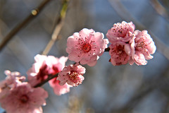 Early Spring_7782 (Rikx) Tags: pink sun sunlight garden petals spring bright blossom sunny adelaide southaustralia plumtree plumblossom pinkblossom pinkpetals springblossom fantasticflower