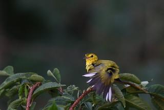Hooded Warbler  (Explored)