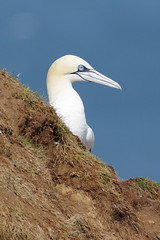 Cliff Top Gannet (Hugobian) Tags: sea cliff bird nature birds fauna fly flying wildlife reserve cliffs british gannet rspb bempton