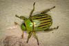 Glorious Scarab (Chrysina gloriosa) (aliceinwl1) Tags: az arizona arizona2015 arthropod arthropoda campverde chrysina chrysinagloriosa clearcreekcampground coleoptera gloriousscarab insect insecta polyphaga rutelinae rutelini scarabbeetle scarabaeidae scarabaeoidea shiningleafchafer yavapaicounty beetle gloriosa locpublic viseveryone