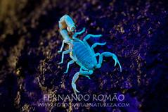 Escorpio (Buthus ibericus) (fernandoromo) Tags: nature animal wildlife natureza scorpion escorpio