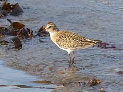 P1150297 (ianpreston) Tags: yorkshire dunlin seabird eastcoast robinhoodsbay wader