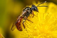 Lovely little native bee #2 (affectatio) Tags: macro bug insect bee mpe65 nativebee australiannativebee homalictus
