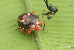 Shield-backed bug (Scutelleridae) - DSC_3440 (nickybay) Tags: macro peru bug amazon tambopata scutelleridae peruvianamazon shieldbacked tambopataresearchcenter