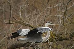 2015 09 PONT de GAU (13)_83283 Hron cendr (Ardea cinerea) (chamane45) Tags: bird oiseau pjaro hron greyheron bouchesdurhone garzareal pontdegau