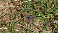 Common Blue (female) / Argus Bleu (Dr Wood's Wildlife Photos) Tags: butterfly commonblue polyommatusicarus caro icaro bluebutterfly hauhechelbluling argusbleu icarodedospuntos