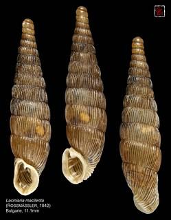 laciniaria macilenta bulgarie 11mm1