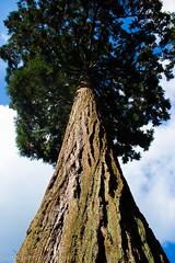 Standing proud (judethedude73) Tags: trees nature gardens woodland bark
