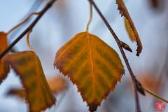 Hanging in there (Kasia Sokulska (KasiaBasic)) Tags: canada macro fall edmonton foliage alberta birch
