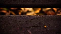 Ladybug (martha hoo) Tags: wood autumn macro fall nature outside herbst natur ladybug makro holz marienkfer