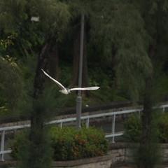 DSC03120_cr (rickytanghkg) Tags: bird hongkong sony aves 70300mm taipo 70300g a550 agrets