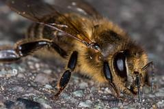 Biene Park (2 of 3) (BigPix Photography) Tags: macro bug insect spider bee spinne augen makro insekt biene bugeyes macrophotography bugseye
