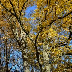 DSC_0091.jpg (Q-BEE) Tags: autumn trees colours laub herbst cologne köln rhine farben spaziergang