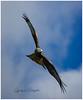 Red Kite 2 (candicemorganphotography) Tags: sky bird action flight raptor birdofprey acrobatic redkite sonyalpha850 sony70400mmf4056gii