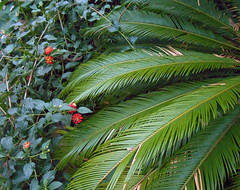 What the dinosaurs ate... (Dun.can) Tags: autumn sheffield cycad dinosaurs southyorkshire millenniumgardens
