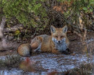 Red Fox   10_2015