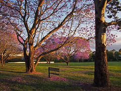 Jacarandas in flower_c (gnarlydog) Tags: park flowers colorful australia eveninglight jacarandatree