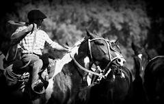 Estampa criolla (Eduardo Amorim) Tags: horses horse southamerica argentina criollo caballo cheval caballos cavalos pferde herd cavalli cavallo cavalo gauchos pferd ayacucho chevaux gaucho cavall  amricadosul gacho amriquedusud provinciadebuenosaires  gachos  sudamrica suramrica amricadelsur sdamerika crioulo caballoscriollos criollos  tropillas buenosairesprovince americadelsud tropilhas tropilla crioulos cavalocrioulo americameridionale tropilha caballocriollo eduardoamorim cavaloscrioulos
