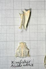 Kingfisher3 (JRochester) Tags: skeleton kingfisher bones bone pelvis sternum alcedo atthis