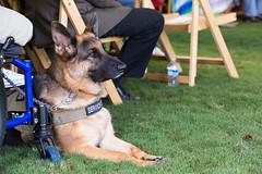 Veterans Day in North Charleston (North Charleston) Tags: dog ceremony servicedog veteran germanshepard veteransday northcharleston