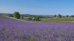 Un bol d'air ***--+-- (Titole) Tags: trees sky green purple lavender provence lavandes gamewinner plateaudevalensole 15challengeswinner friendlychallenges thechallengefactory herowinner storybookwinner titole perpetualchallenge nicolefaton