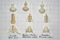 ComparisonSwiftMartinSwallo3 (JRochester) Tags: house skeleton skull martin bones bone swift swallow pelvis apus sternum mandible rustica hirundo delichon urbica