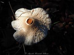 Mushroom (Alejandro Hernndez Valbuena) Tags: life autumn wild summer food brown plant green nature mushroom colors beautiful closeup forest season moss flora warm pretty bright low organic eatable ways toasted inedible badius