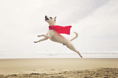 Caped Canine (West Leigh) Tags: red dog beach oregon puppy fly jump canine wanderlust explore cape brave jackrussellterrier wander soar courage jumpingdog canoneos7d