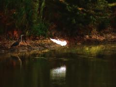 DSCN02378 (Tassoni Massimo) Tags: art alberi digital lago photo natura uccelli acqua piante landescape paesaggio airone laghi aironi