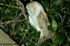 _MG_9548 (AMPMartins) Tags: portugal aves passeios aveiro