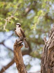 20151107_Savuti_0337.jpg (eLiL1860) Tags: bird birds botswana vögel vogel tierwelt southernwhitecrownedshrike weisscheitelwürger safari2015