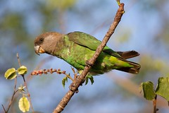 Brown-headed Parrot ~ Poicephalus cryptoxanthus (jengel5230) Tags: southafrica krugernationalpark satara psittacidae