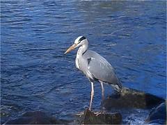 Heron at the watermill (sakramer07) Tags: bird heron vogel reiher