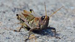Mr. Grasshopper 1 (joshuaberneking) Tags: nikon d5100