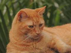 Leoncito (Ani Carrington) Tags: leoncio cat ginger gingercat beautiful young yellow