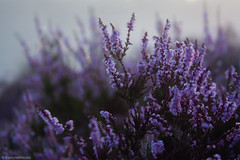 Blooming heather (EvelyneRenske) Tags: 2016 heide mist publicatie renderklippen