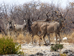 Namibia's Beauty: 16.  Zebras and Kudu on their way to tha waterhole in Etosha (ronmcbride66) Tags: namibiasbeauty namibia drought waterhole etosha zebras kudus malekudu kuduhorns wildlife herbivores camouflage thornscrub antelope
