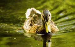 Canard Colvert (Mallard) (yveshebert) Tags: mallard colvert birds oiseaux oiseauxduqubec outaouais ottawariver wildlife qc quebec qubec woodduck