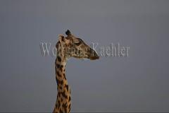 10076035 (wolfgangkaehler) Tags: 2016africa african eastafrica eastafrican kenya kenyan amboseli amboselikenya amboselinatlparkkenya amboselinationalpark wildlife mammal giraffe giraffes giraffacamelopardalistippelskirchi portrait closeup