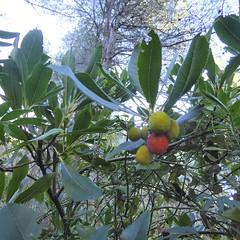 Arbutus unedo L. -  Strawberry Tree (Peter M Greenwood) Tags: mallorca arbutusunedo arbutus unedo strawberrytree strawberry tree