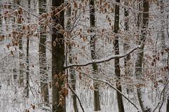 ckuchem-1626 (christine_kuchem) Tags: baumrinde buche bume eiche eis frost hainbuche natur pfad pflanzen ruhe samen spuren stille struktur wald weg wildpflanzen winter einsam kalt schnee ste
