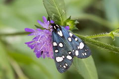 Scarlet Tiger Moth (RuudVisser) Tags: barmsee bavaria bavarianalps bayerischealpen bayern bontebeer callimorphadominula canoneos70d deutschland germany insect moth nachtvlinder scarlettigermoth schmetterling schnbr